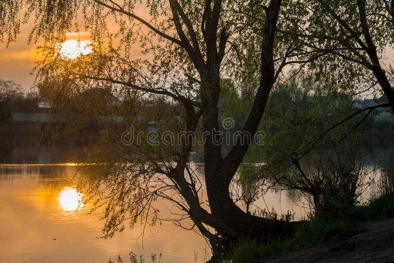 Дерево липы с заходом солнца предпосылки стоковая фотография rf