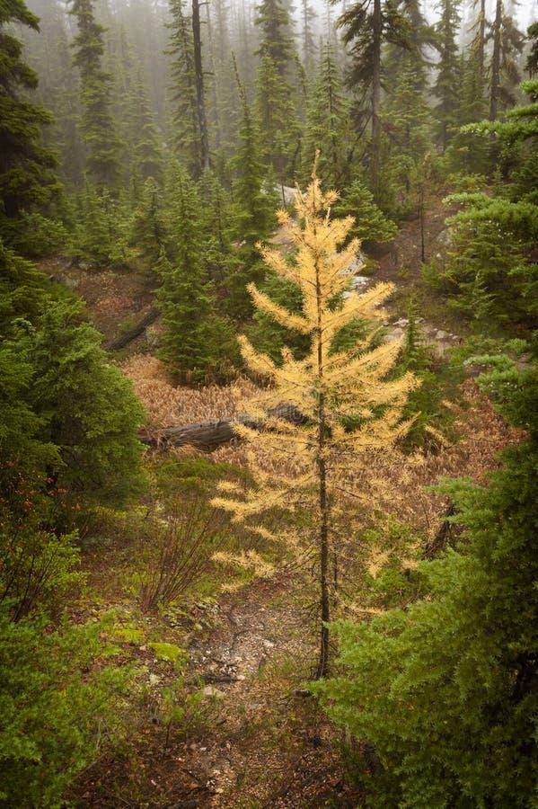 Дерево лиственницы стоковое изображение rf