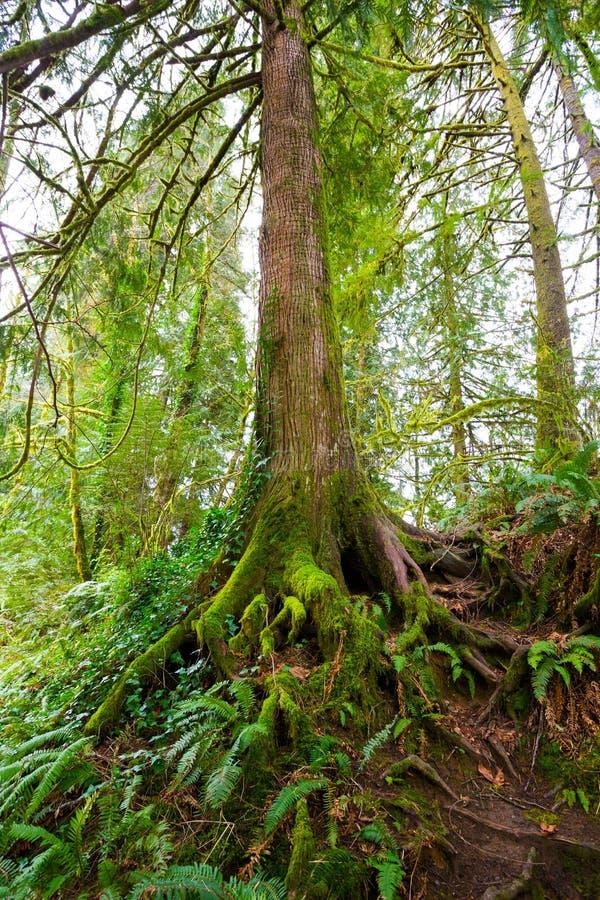 Дерево и папоротники в лесе стоковое изображение rf