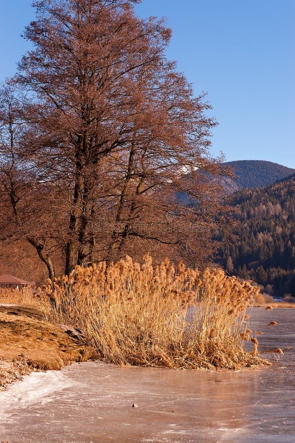 Дерево и тростники в замороженном озере - Италии стоковая фотография rf