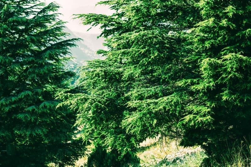 Дерево кедра в Ливане стоковое изображение rf