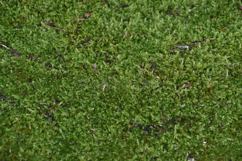 Дерево кедра, зеленая естественная ботаническая предпосылка текстуры стоковые изображения rf