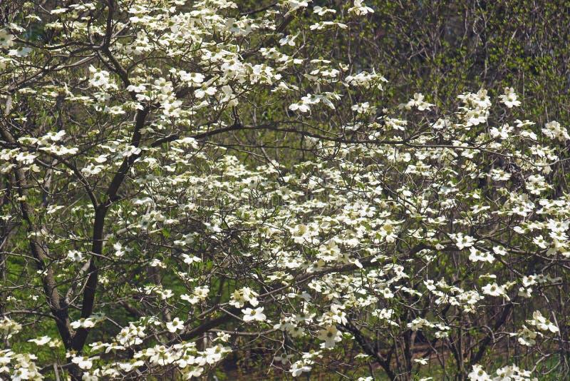 Дерево кизила весны Ozark цветя в цветении стоковое фото rf