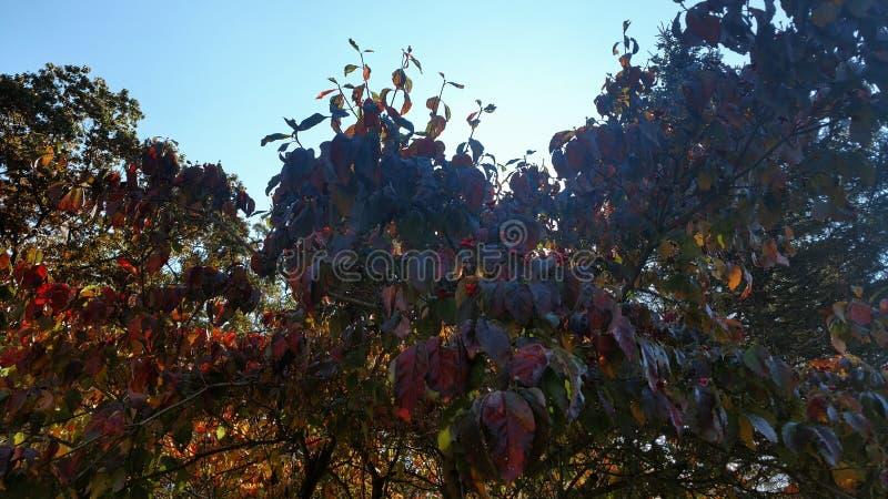 Дерево кизила стоковая фотография