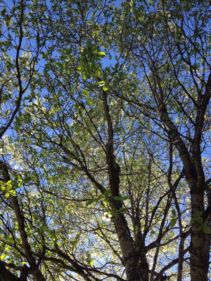Дерево кизила стоковое фото rf