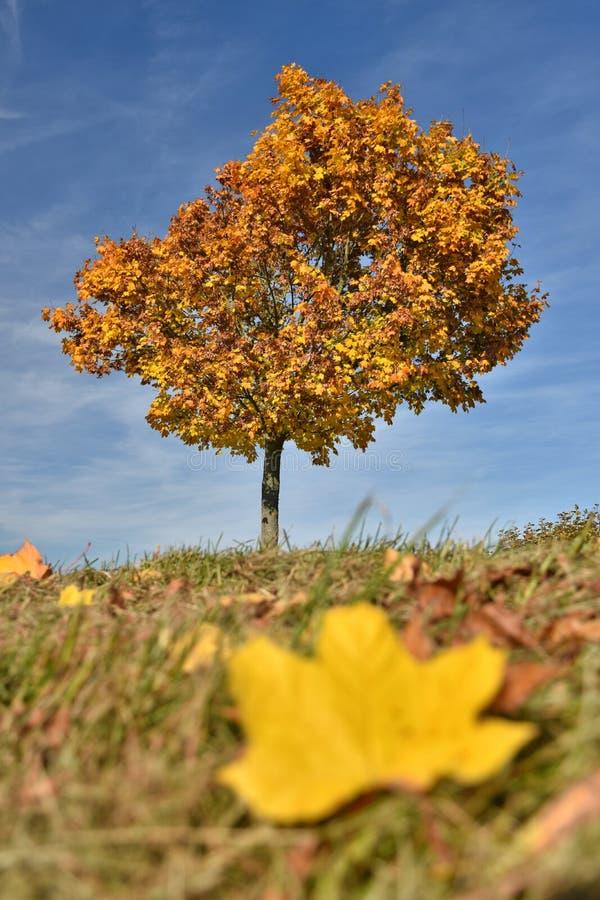 Дерево клена внутри с на одиночными золотыми лист стоковая фотография