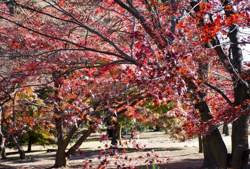 Дерево клена осени в саде Shinjuku Gyoen национальном, Shinjuku, Токио, Японии стоковая фотография