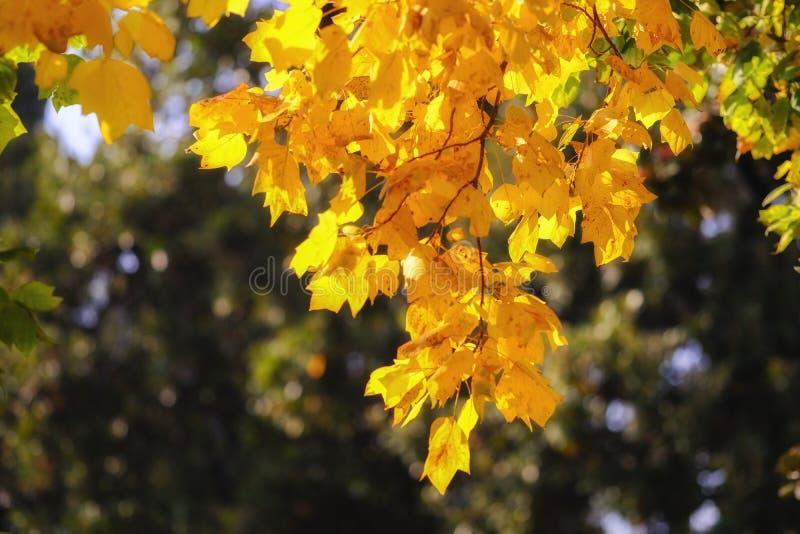 Дерево клена осени, желтая листва, дождь солнечного света стоковые фото