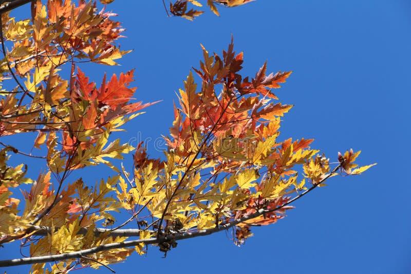 Дерево клена поворачивает к красному цвету, семени рогача сформированному рожком стоковое изображение rf