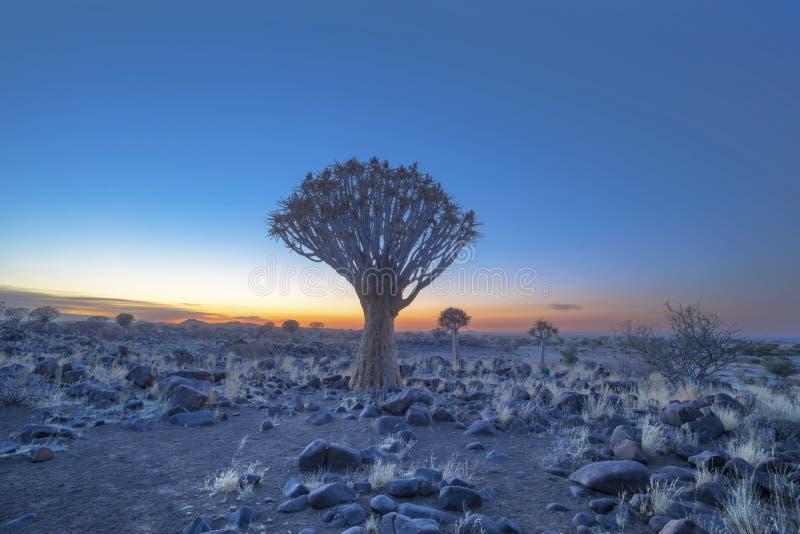 Дерево колчана в свете раннего утра перед восходом солнца стоковая фотография