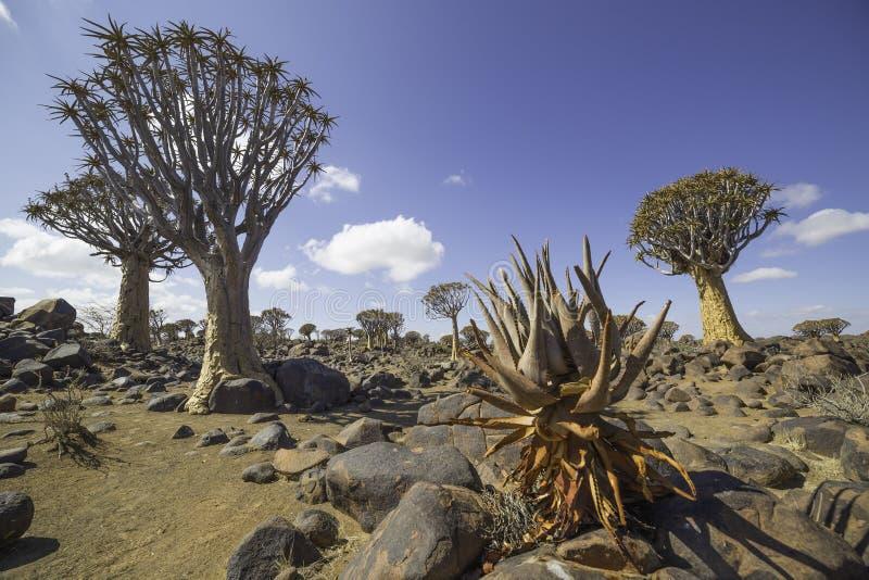 Дерево колчана, или dichotoma алоэ, или Kokerboom, в Намибии стоковая фотография