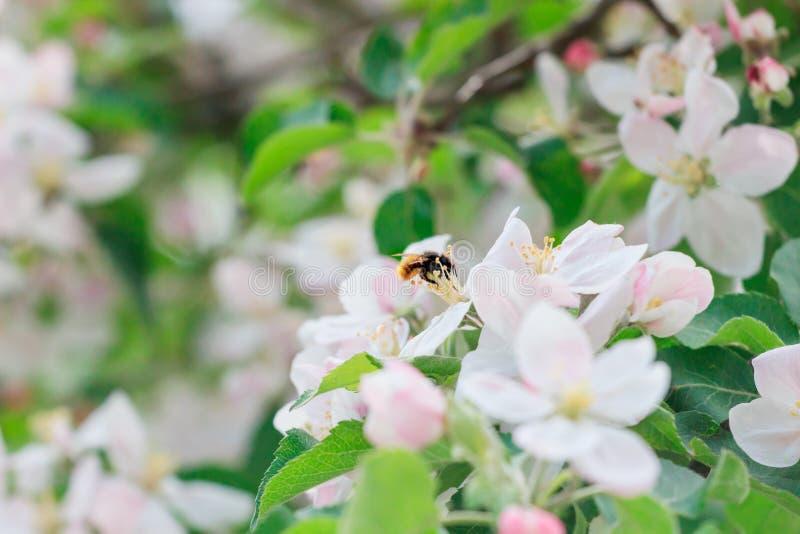 Дерево красивой весны зацветая, нежные белые цветки, свежая граница цветения яблока на зеленой мягкой предпосылке фокуса, времени стоковое фото