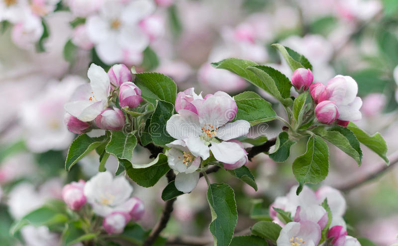 Дерево красивой весны цветя, чувствительные белые цветки яблони стоковые изображения rf