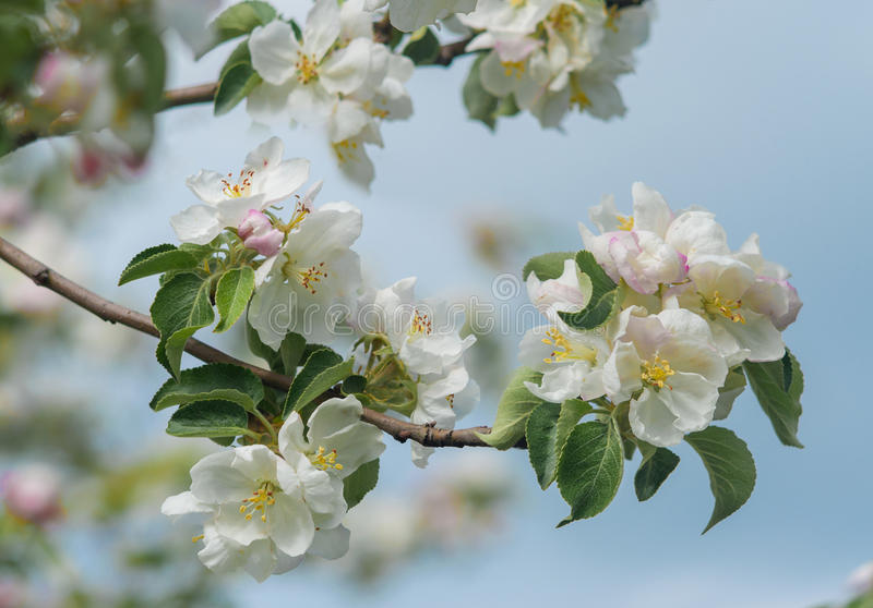 Дерево красивой весны цветя, чувствительные белые цветки яблони стоковое изображение