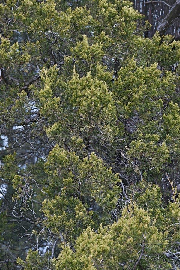 Дерево красного кедра стоковая фотография rf