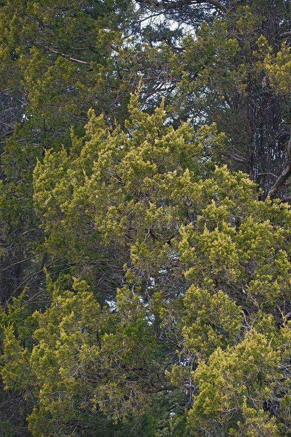 Дерево красного кедра стоковая фотография