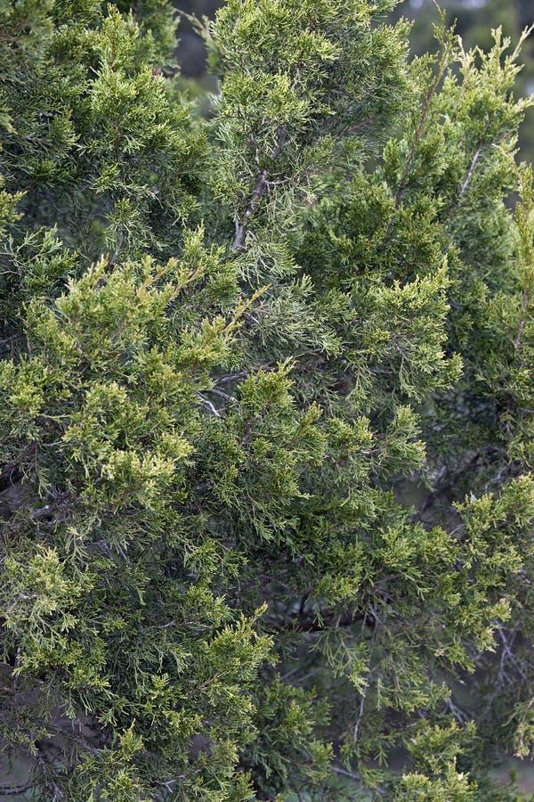Дерево красного кедра стоковое изображение