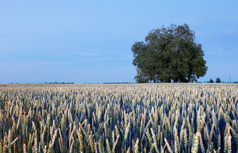 Дерево красоты на пшеничном поле на ноче стоковые изображения