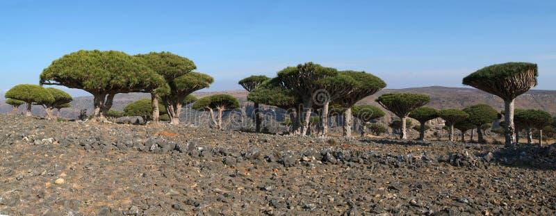 Дерево крови дракона острова Сокотры на Ємене стоковые изображения