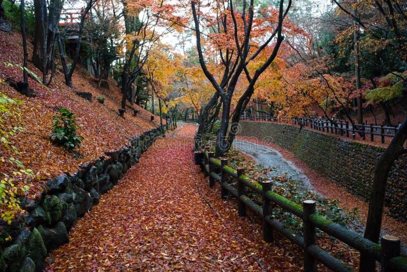 Дерево клена в осени Японии стоковое фото