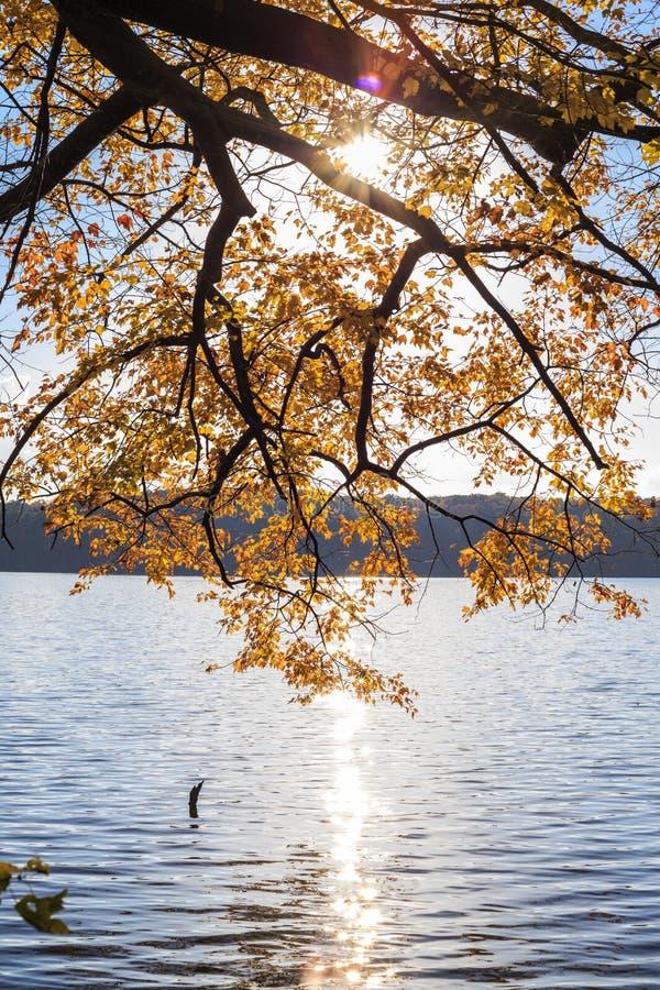 Дерево клена с желтым цветом выходит над озером с светом солнца стоковая фотография