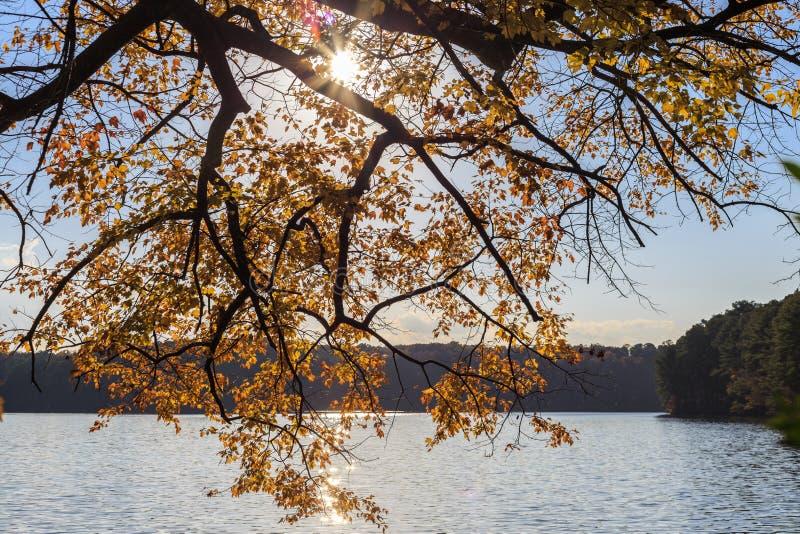 Дерево клена с желтым цветом выходит над озером с светом солнца стоковое изображение rf