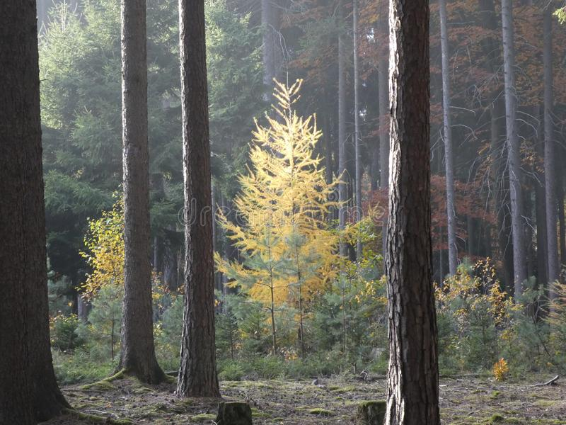Дерево лиственницы в лесе в осени с солнечным светом стоковое фото