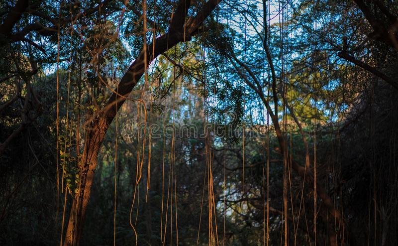 Дерево лозы стоковое изображение rf