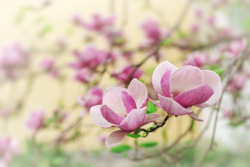 Дерево магнолии в цветках цветеня красивых фиолетовых весной стоковое фото rf