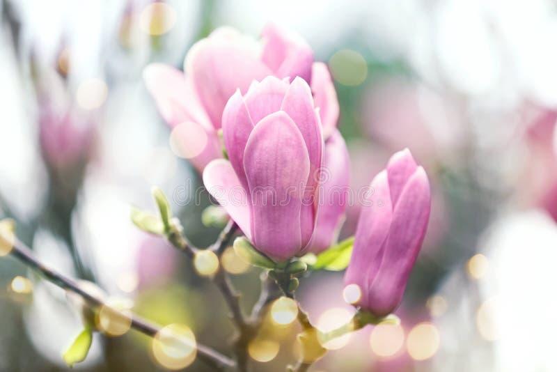 Дерево магнолии с красивыми цветками outdoors, крупный план стоковое изображение rf