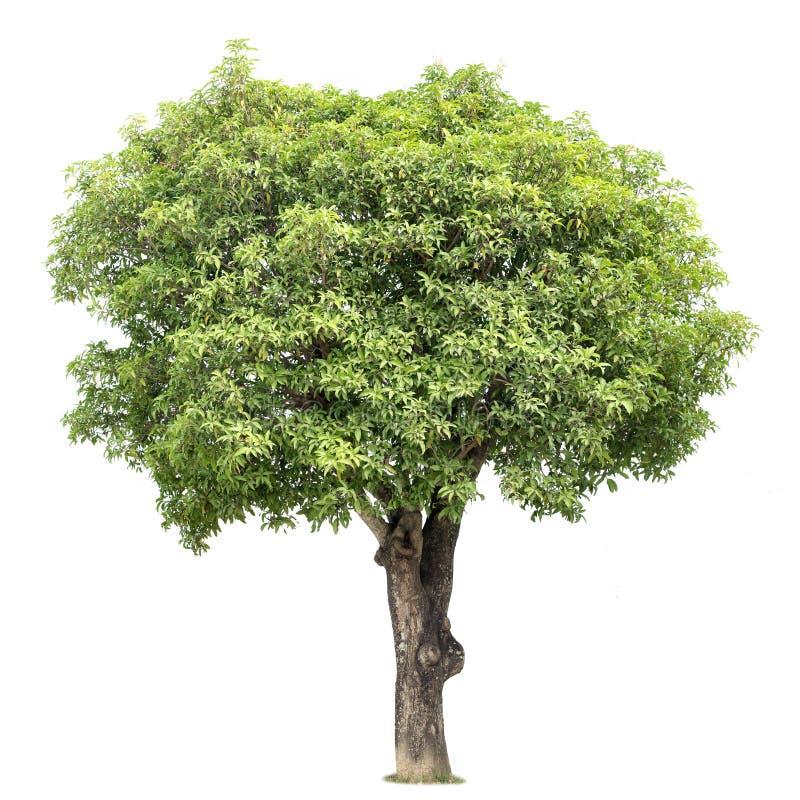 Дерево мангоа стоковое изображение rf