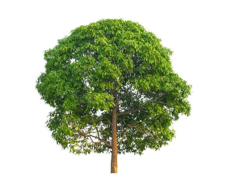 Дерево манго изолированное на белизне стоковая фотография rf
