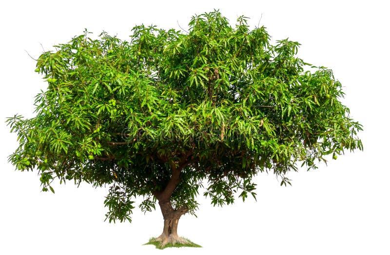 Дерево манго на белой предпосылке с путем клиппирования стоковое изображение rf