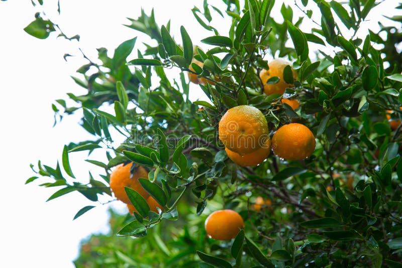 Дерево мандаринов с оранжевыми цитрусовыми фруктами Фото 2018 перемещения, декабрь стоковое изображение