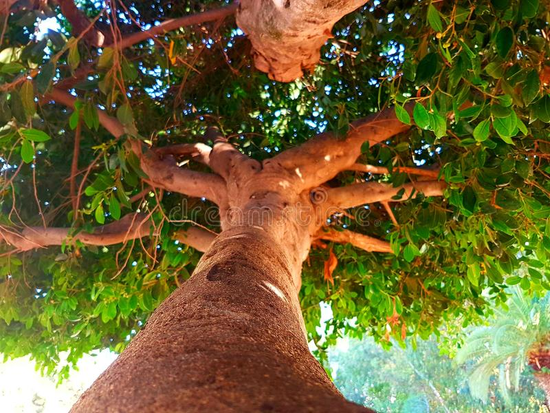 Дерево Мадагаскара стоковая фотография rf