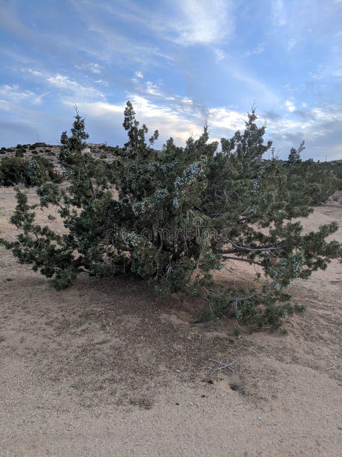 Дерево можжевельника стоковые изображения rf
