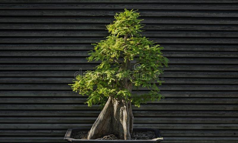 Дерево можжевельника бонзаев стоковые изображения rf