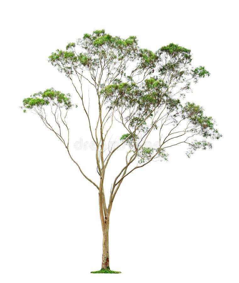 Дерево на белой предпосылке стоковое изображение