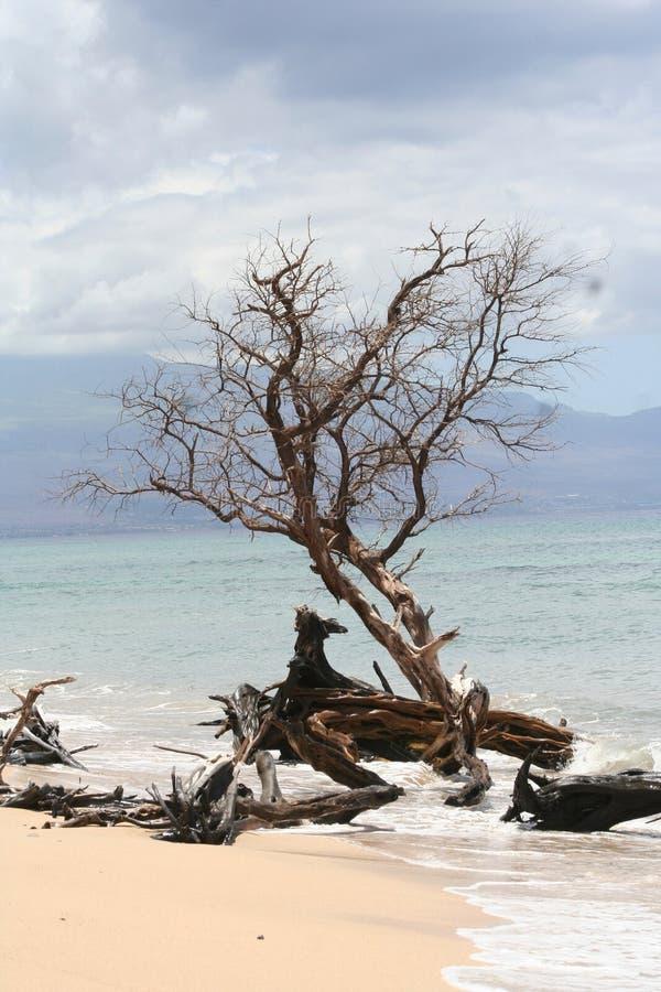 Дерево на гаваиском пляже стоковые изображения rf