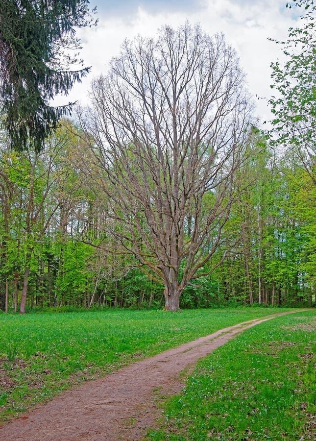 Дерево на национальном парке Bialowieza в Польше стоковое фото rf