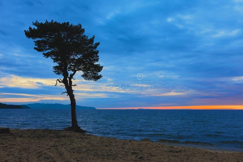 Дерево на песочном побережье Lake Baikal Россия стоковые фотографии rf