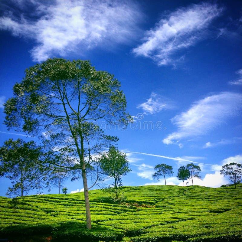 Дерево на фронте плантации чая стоковые изображения rf