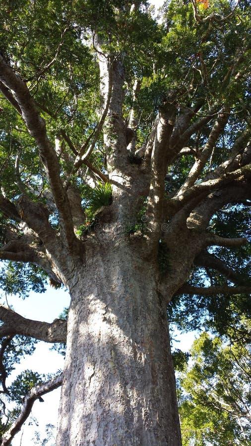 Дерево Новой Зеландии стоковые изображения