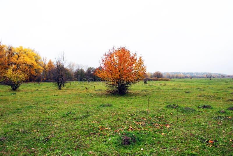 Дерево одичалых груш с листьями желтого цвета и травой на краю леса стоковые изображения rf