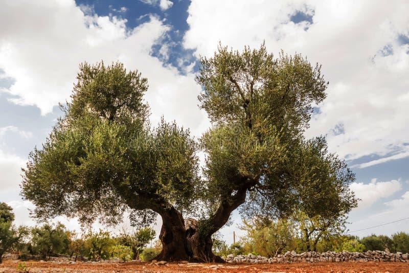 Дерево оливки, светское с двойными волосами стоковые фото