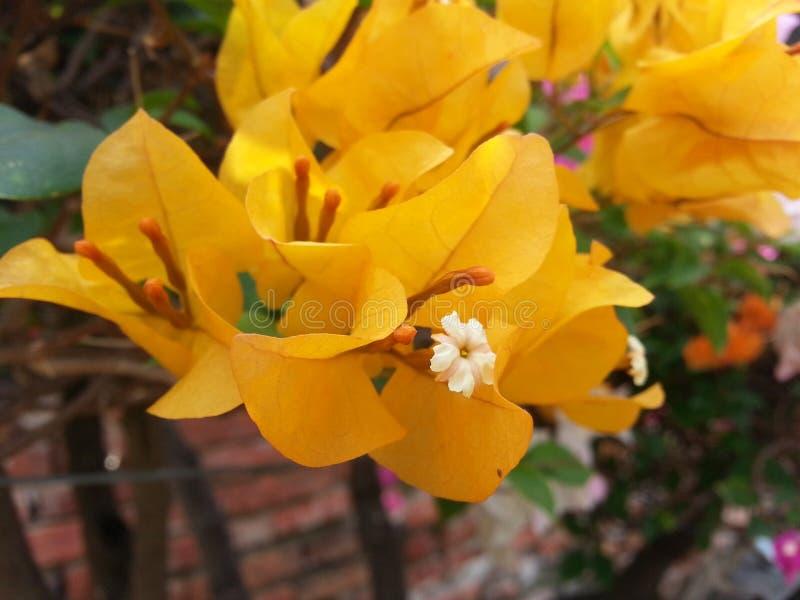 Дерево оранжевого желтого цвета цветка бугинвилии стоковое фото