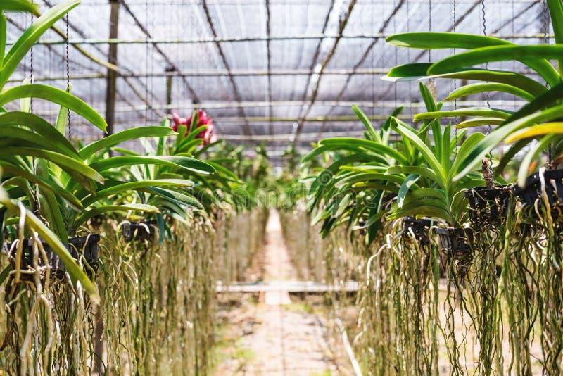 Дерево орхидеи внутри культивирует ферму в тропической стране, малой глубине селективного фокуса поля стоковая фотография