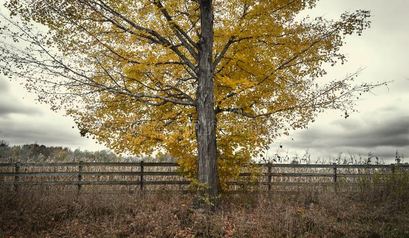 Дерево осени на поле фермы стоковые изображения rf
