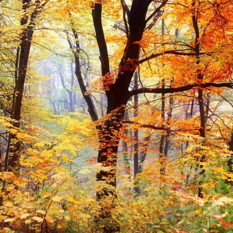 Дерево осени с цветастыми листьями стоковые изображения