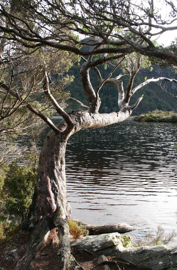 Дерево достигая над озером стоковые фото